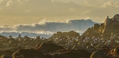 incoming (Kristen Fletcher Photography) Tags: seagulls gulls waves oceanwaves ocean pacificocean pacificgrove rockyshore rockycoast coastline shoreline shore