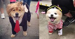 10 Anjing Lucu Dengan Kostum Yang Bikin Kamu Ketawa Terbahak-bahak (Gitu Aja) Tags: anjing lucu dengan kostum