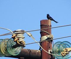 power trip (CatnessGrace) Tags: blackbird bird birds nature