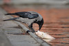 Cornacchia Grigia // Corvus Cornix (Christian Papagni | Photography) Tags: segrate lombardia italia it cornacchia grigia corvus cornix laghetto dei cigni milano 2 due canon eos 5d mark iv ef100400mm f4556l is ii usm