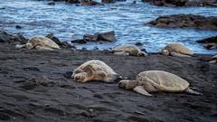 Sea turtles (802701) Tags: 2017 201712 america december2017 hi hi2018 hawaii hawaiiisland kona thebigisland usa unitedstates unitedstatesofamerica travel volcano seaturtles nature turtles blackbeach