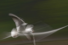 SEAGULL STUDY 147 (annemcgr) Tags: seagull gull birds flight motion slowmotion icm fineartphotography