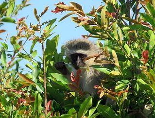 Blouaap / Vervet Monkey