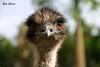 Retrato de avestruz (Eva Cocca) Tags: naturaleza nature avestruz animal zoo ostrich retrato portrait