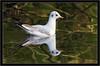 BLACK HEADED GULL { winter plumage } (PHOTOGRAPHY STARTS WITH P.H.) Tags: black headed gull winter plumage nikon stover park devon d500