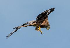 DSC6496  Red Kite.. (jefflack Wildlife&Nature) Tags: redkite kite kites birds avian animal animals wildlife wildbirds woodlands raptors birdsofprey hawk hawks heathland hedgerows moorland coth5 ngc npc