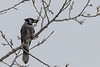 Blue Jay with Peanut (Wild Bird Company) Tags: bluejay cyanocittacristata bluejaycolorado bluejayboulder wildbirdboulder wildbirdcolorado wildbirdcompany formerwildbirdcenter notwildbirdsunlimited birdseed birdwalk saturdaymorningbirders bouldercreekat75thst heatherwoodtrail bouldercountyopenspace gunbarrel colorado nealzaun
