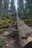 Fallen Tree (Reddad Ford) Tags: drumheller mountains moraine lake lakelouise alison bear goat glacier alberta jasper july animals 2017 athabasca banff vulcan
