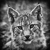 Junger Luchs (grasso.gino) Tags: tiere animals natur nature wildpark granat nikon d5200 katze cat luchs lynx schwarzweis monochrome portrait niedlich nice cute