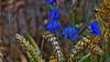 Summer beauty (jens-kristiansoendergaard) Tags: summer blue wheat grain flower