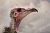 have you captured my best side (jeff.white18) Tags: vulture hoodedvulture beak eye portrait closeup clouds sky bird feathers flickr