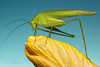 Katydid (Red Gecko Photography) Tags: green yellow blue katydid insect bugs andalucia spain nature pedicure