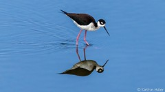 SJWR - Black Necked Stilt_5857 (www.karltonhuberphotography.com) Tags: 2017 bird birdphotography blackneckedstilt concentration horizontalimage karltonhuber lake marsh nature outdoors pond reflection ripples sanjoaquinwildliferefuge southerncalifornia wading water wetlands wildlife