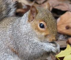 Grey Squirrel (seanwalsh4) Tags: greysquirrel nutkins nutty nutjob 7dwf sundaysfauna fauna furry happy nice delightful fun hazelnuts acorns drey caches parapoxvirus