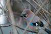 Eichelhäher im Haselnussstrauch - Jay in the hazel bush (riesebusch) Tags: berlin garten marzahn vögel
