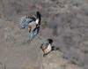 arrendajo vuelo (barragan1941) Tags: arrendajo aves corvidos cremenes2018 fauna pajaros