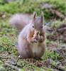 Red Squirrel (AngelCrutch) Tags: squirrel squirreltrail redsquirrel hazelnut native britain uk england northyorkshire wildanimal animal yorkshire snaizeholme yorkshiredales