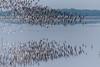 SHAR Road (Velachery Balu) Tags: sharroad pulicatlagoon ap godwit sandpiper ruf blackwingedstilt terns gulls migratorybirds