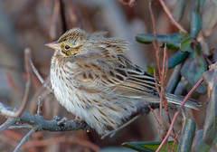 All Fluffed Up (tresed47) Tags: 2018 201801jan 20180118bombayhookbirds birds bombayhook canon7d content delaware folder january peterscamera petersphotos places savannahsparrow season sparrow takenby us winter