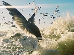 Gulls and Water (ericanderson7) Tags: seagulls gull gulls gulfofmexico ocean birds