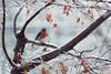 Bluebird Japanese Maple Snow (brandon_gerringer) Tags: easternbluebird sialiasialis bird birdphotography nature naturephotography canon snow wildlife wildlifephotography blue japanesemaple maple urban