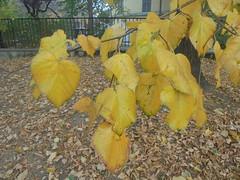 1274 (en-ri) Tags: foglie leaves ony sonysti albero tree giallo autunno autumn fall