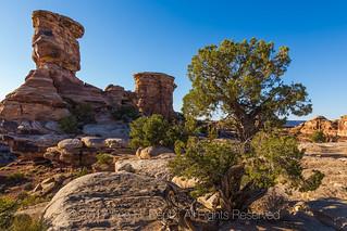 Utah Juniper Growing in Rock Cracks in Canyonlands National Park