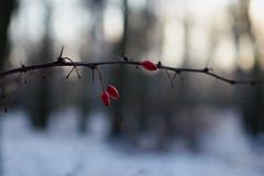 _MG_2895_C (grzegorz_63) Tags: winter fruit branch bokeh nature outside canon70d