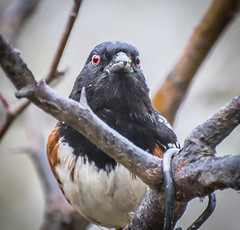 Evil Eye,s. (Omygodtom) Tags: wild wildlife spottedtowhee bokeh bird oaksbottom outside red eye nikon70300mmvrlens dof d7100 contrast composition leica zeiss digital ngs ngc urbunnature usgs urban evil stair