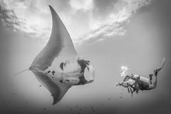 Manta encounter Hin Muang (aantwaarpe) Tags: blackwhite manta mantaray ray underwater duiken diving scuba thailand hinmuang