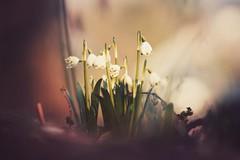like in a fairy tale (christian mu) Tags: flowers bokeh nature schlossgarten germany muenster münster botanicalgarden botanischergarten christianmu sony sonya7riii gm gmaster 8514gm 85mm 8514 winter