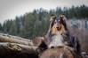 05/52 Leia & touring Füssen (shila009) Tags: leia dog perro portrait wood madera füssen holidays roughcollie 0552 smile retrato