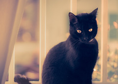 Panther in my window (Ro Cafe) Tags: cat panther kitten window home eyes black lovely nikkormicro105f28 nikond600