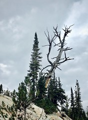 Defiance (Halvorsong) Tags: trees treephotograhy treetuesday wilderness thunderstorms thunderstorm mountains alpinescenery oregon montana colorado backcountry backpacking adventure amazingtress amazingtrees landscape landscapes highcountry americanwest eaglecap
