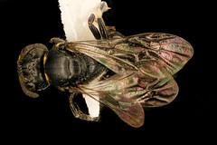 Hylaeus sparsus, f, back, Shenandoah, VA_2017-07-19-16.26.29 ZS PMax (Sam Droege) Tags: zerenestacker stackshot geologicalsurvey unitedstatesgeologicalsurvey departmentoftheinterior droege biml beeinventoryandmonitoringlaboratory bug bugs canon closeup macro insect patuxentwildliferesearchcenter pwrc usgs dofstacking stacking entomologist canonmpe65 taxonomy:binomial=hylaeussparsus animals animal bee bees apoidea hymenoptera pollinator nativebee entomology macrophotography shenandoahnationalpark shen virginia maskedbee
