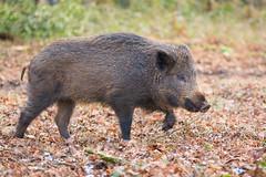 Wild Boar in the Forest of Dean (www.andystuthridgenatureimages.co.uk) Tags: boar wild forest dean woodland floor leaf leaves walking pig