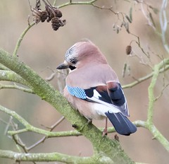 Jay (Garrulus glandarius) - Taken at Sywell Country Park, Sywell, Northamptonshire. UK (Ian J Hicks) Tags: