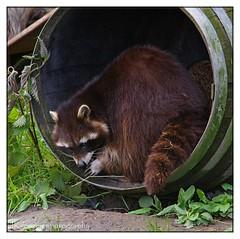 racoon (José Kroezen) Tags: racoon wasbeer blijdorp zoo dierentuin dieren nature natuur k1 pentaxk1 nederland thenetherlands 55300mm