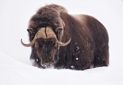 Bisons of the snowy meadows (beyondhue) Tags: buffalo bison meadow omega park quebec winter snow beyondhue canada animal eye contact bovine parc