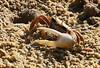 Fiddler Crab (m) (Roy Lowry) Tags: ludo riaformosa faro crab fiddlercrab ucatangeri