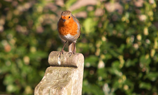 The English Robin @ SE15