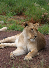South Africa (s11_8) Tags: southafrica entebeni entabeni wildlife nature gamereserve game drive lion lioness