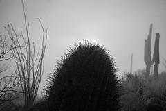 Tum016_small (patcaribou) Tags: tucson tumamochill sonorandesert fog cactii saguarocactus