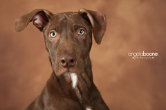 Mario (Pet Haven) Tags: americanpitbullterrier pitbull labradorretriever lab chocolatelabradorretriever professionalphotos petsbyangelaboonephotography