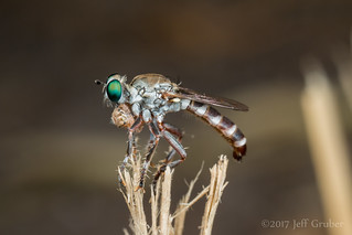 Robber Fly with jumping spider prey