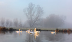 stour valley swans_1917 (mistycrow) Tags: swan swans fog mist mistycrow misty river stour meadows birds sudbury suffolk