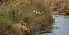 Short Eared Owl (Steve Ball Photography) Tags: shortearedowl owl british wildlife birdofprey bird prey raptor uk
