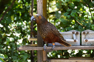 New Zealand Kaka (Nestor meridionalis)