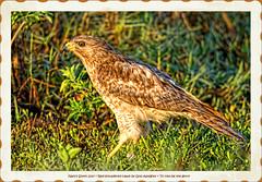 Red-shouldered Hawk (NancySmith133) Tags: redshoulderedhawk lakeapopkanorthshorewildlifedrive centralfloridausa coth naturescarousel coth5