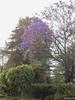 Jacaranda - 7th October 2017 (princetontiger) Tags: kenya jacaranda flower flowers blossom bloom tree purple